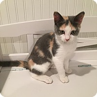 Adopt A Pet :: Cali - Colmar, PA
