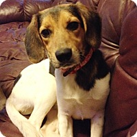Adopt A Pet :: Darla - Hillsboro, IL