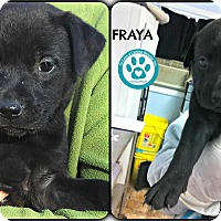 Adopt A Pet :: Fraya - Kimberton, PA