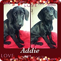 Adopt A Pet :: Addie-pending adoption - East Hartford, CT