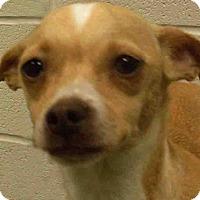 Adopt A Pet :: Sindy - Channahon, IL