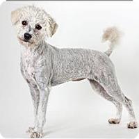 Adopt A Pet :: Gidget - Monterey, CA
