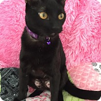 Domestic Shorthair Cat for adoption in Rochester Hills, Michigan - Raven