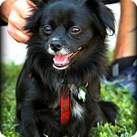 Adopt A Pet :: Maggie - Thousand Oaks, CA