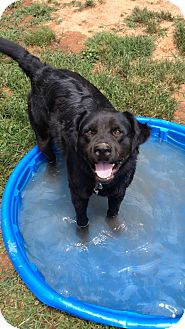 Australian Shepherd/Labrador Retriever Mix Dog for adoption in Staunton, Virginia - Tessa
