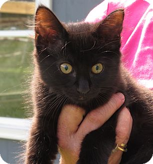 Domestic Mediumhair Kitten for adoption in Unionville, Pennsylvania - Star