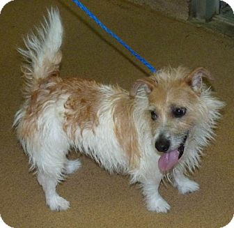 Jack Russell Terrier Mix Dog for adoption in Zanesville, Ohio - 46727 Cookie