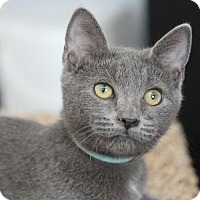 Domestic Shorthair Cat for adoption in Raleigh, North Carolina - Daphne H