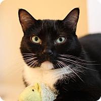 Domestic Shorthair Cat for adoption in Winston-Salem, North Carolina - Nova