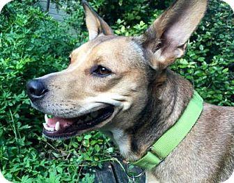 Carolina Dog/Whippet Mix Dog for adoption in Austin, Texas - Olivia