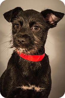 Pug/Chihuahua Mix Puppy for adoption in Berkeley Heights, New Jersey - Mercy