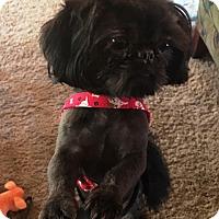 Shih Tzu/Pekingese Mix Dog for adoption in Eden Prairie, Minnesota - RICKY