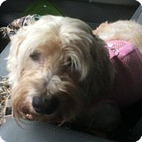 Cockapoo Mix Dog for adoption in Homer, New York - Penny