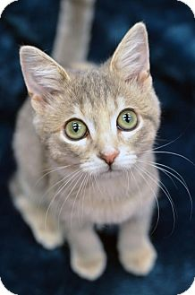 Domestic Shorthair Cat for adoption in Atlanta, Georgia - Decibela 161201