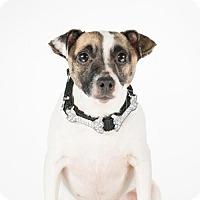 Adopt A Pet :: Jacky - St. Louis Park, MN