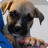 Adopt A Pet :: Laurel - Von Ormy, TX