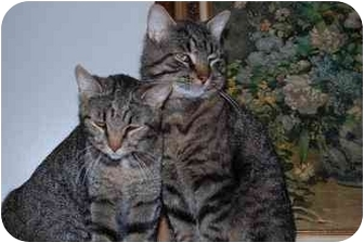 Domestic Shorthair Cat for adoption in Finleyville, Pennsylvania - George & Maggie