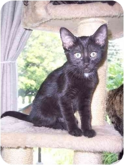 Domestic Shorthair Kitten for adoption in Delmont, Pennsylvania - Batman