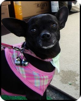 Chihuahua Mix Dog for adoption in Lake Forest, California - Chiqlett
