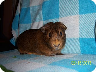 Guinea Pig for adoption in Coral Springs, Florida - Boomer (Neutered)