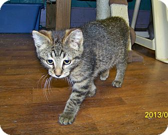 Domestic Shorthair Kitten for adoption in Dover, Ohio - Louise