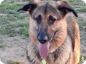German Shepherd Dog Dog for adoption in Denver, Colorado - Tess