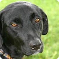 Labrador Retriever Mix Dog for adoption in Avon, New York - FOSTER HOMES NEEDED