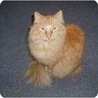 Adopt A Pet :: Tiger la - Hamburg, NY