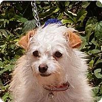Adopt A Pet :: Coco -4 lbs - Warwick, NY