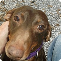 Adopt A Pet :: Brownie - Georgetown, KY