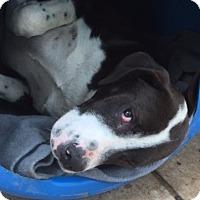 Adopt A Pet :: Ouncee - McLoud, OK