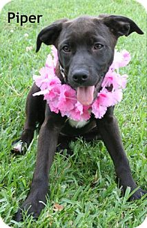 Labrador Retriever Mix Dog for adoption in Houston, Texas - Piper
