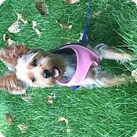 Adopt A Pet :: Tootsie - Carmine, TX