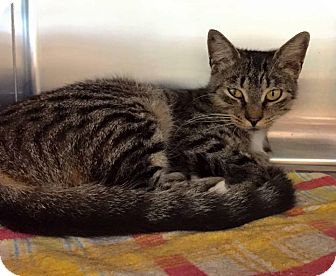 American Shorthair Cat for adoption in New Port Richey, Florida - Shakira