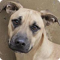 Adopt A Pet :: DOTTY: Chipped ($30) - Red Bluff, CA