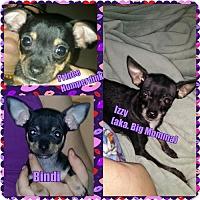 Adopt A Pet :: Izzy - Catharpin, VA