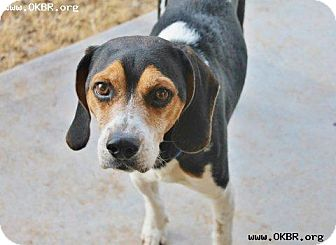 Beagle Mix Dog for adoption in Norman, Oklahoma - Charlie
