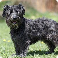 Adopt A Pet :: TOUBI - Ile-Perrot, QC