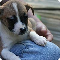 Adopt A Pet :: Blaze - Arden, NC