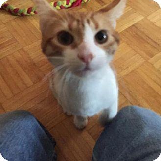 Domestic Shorthair Cat for adoption in Newtown Square, Pennsylvania - Cedric