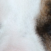 Adopt A Pet :: Lola - Madison, WI