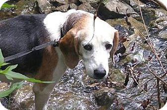 Beagle/Terrier (Unknown Type, Medium) Mix Dog for adoption in St. Catharines, Ontario - Gus