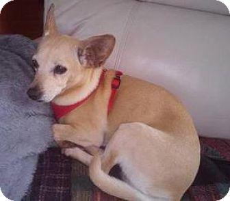Chihuahua Dog for adoption in Shallotte, North Carolina - Daisy Mae