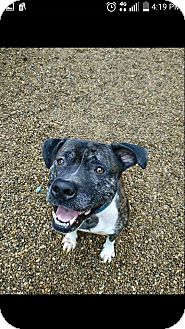 Pit Bull Terrier Mix Dog for adoption in East McKeesport, Pennsylvania - gus