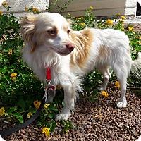 Adopt A Pet :: Lindo - Las Vegas, NV