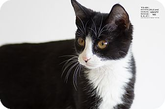 Domestic Shorthair Cat for adoption in Houston, Texas - TIPSY