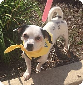 Chihuahua/Dachshund Mix Dog for adoption in Beavercreek, Ohio - Pokey