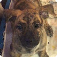 Adopt A Pet :: Pebbles - Boca Raton, FL