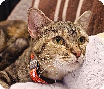 Domestic Shorthair Cat for adoption in Basehor, Kansas - Quincy