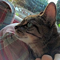 Domestic Shorthair Cat for adoption in Gaithersburg, Maryland - Jag